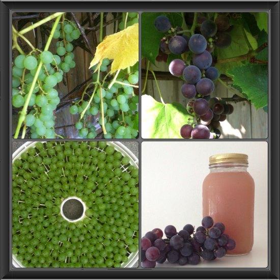 organic grapes garden photos