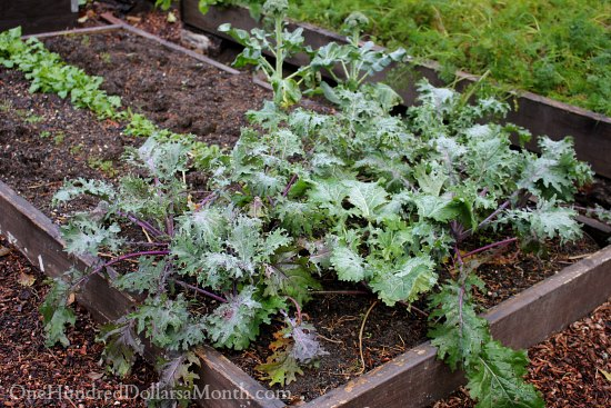 winter kale