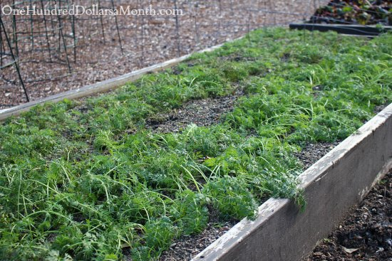will carrots survive a frost