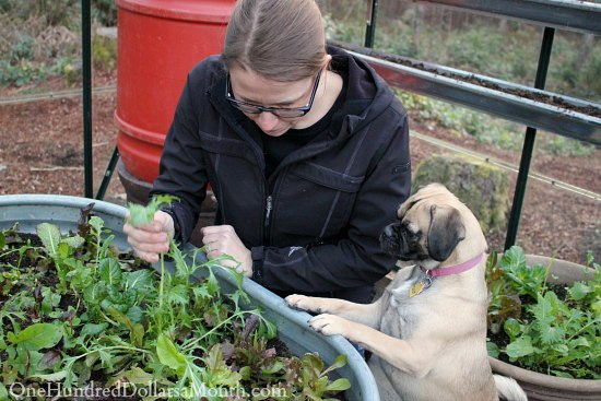 lettuce lucy the puggle dog