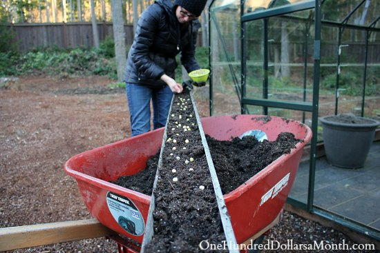 starting peas in gutters
