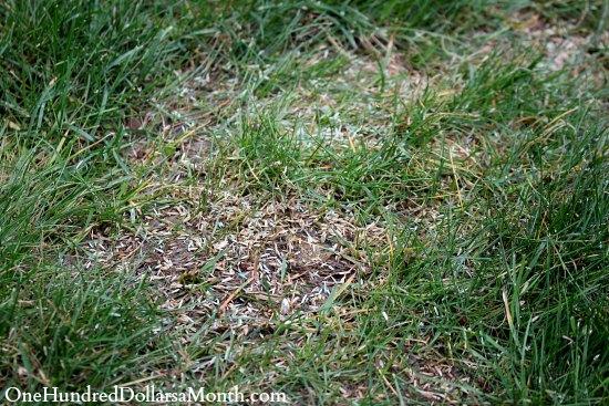 grass seed reseeding lawn