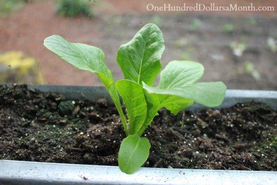 lettuce in gutters