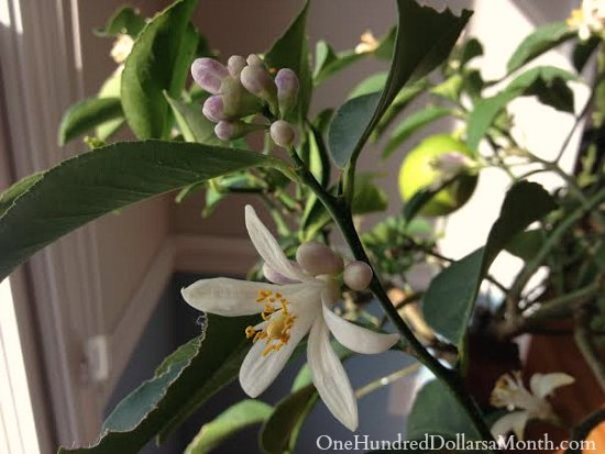 meyer lemon tree blooms