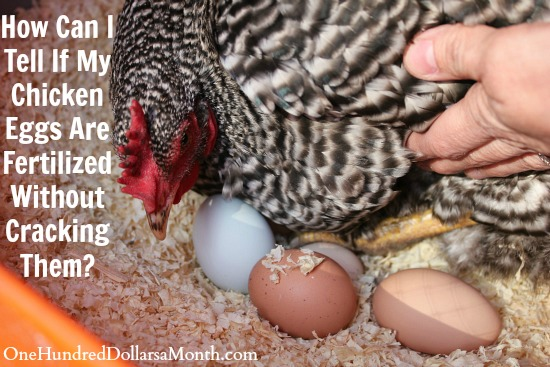 How Can I Tell If My Chicken Eggs Are Fertilized Without Cracking