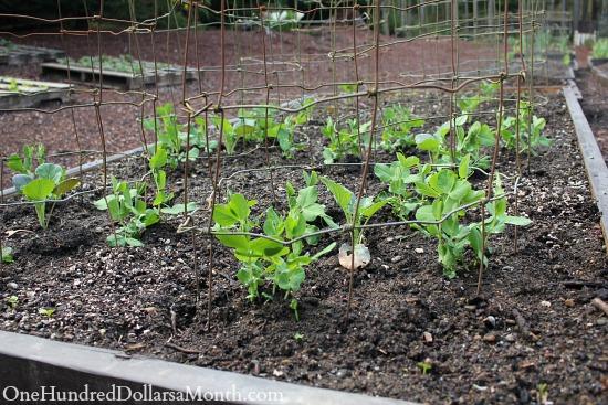 growing peas broccoli