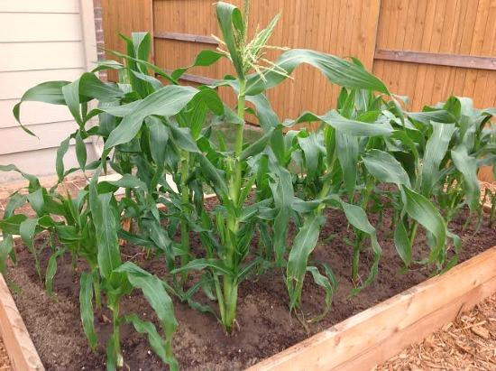corn growing in a garden box