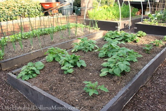potatoes in raised garden boxes