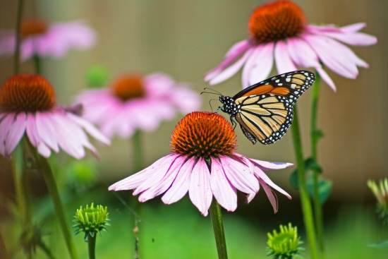 purple coneflowers with butterfly