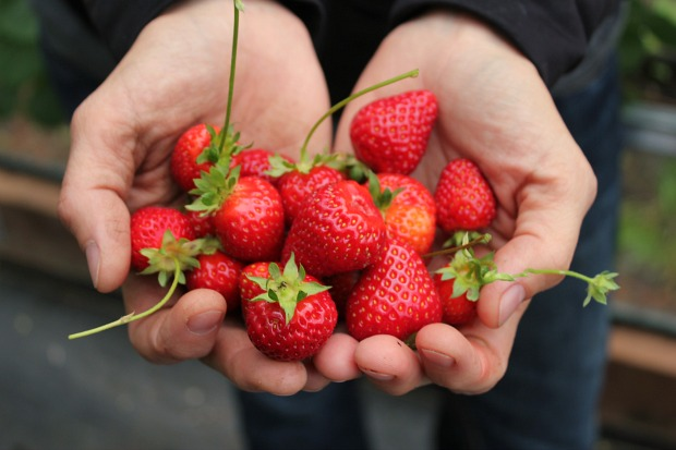 holding-fresh-strawberries