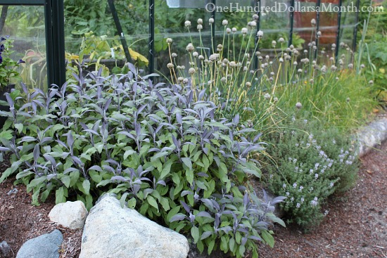 purple sage and thyme
