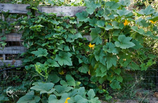 pumpkins growing in the compost heap