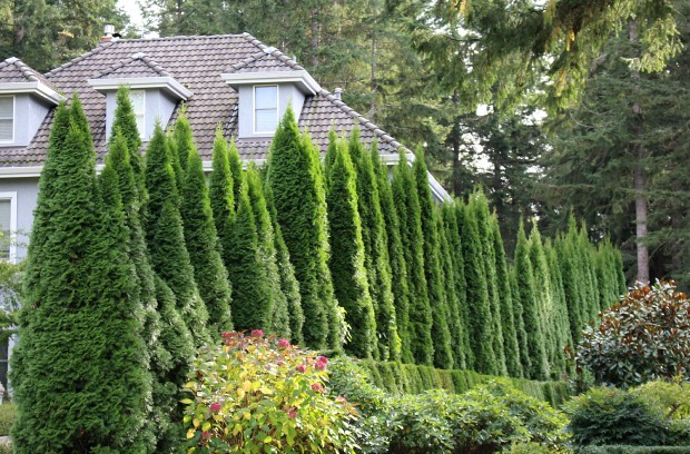 Grow Some Privacy Plant Some Evergreen Trees And Shrubs One