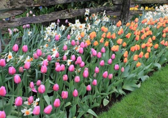 mass-planting-tulip-beds