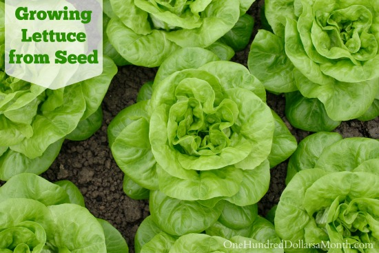 Growing Lettuce from Seed