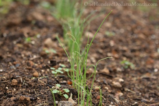 growing chives in november