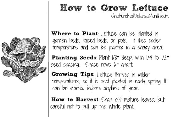 how-to-grow-lettuce