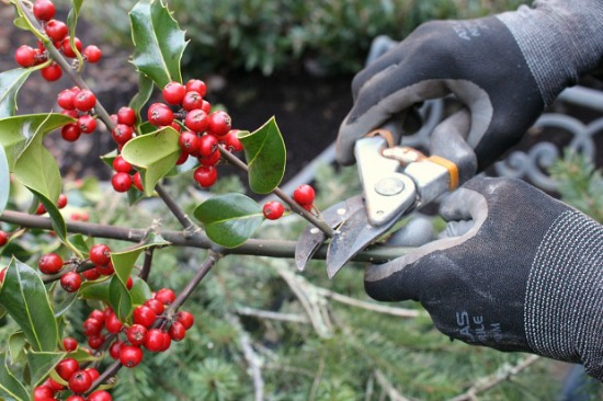 cutting-holly-sprigs