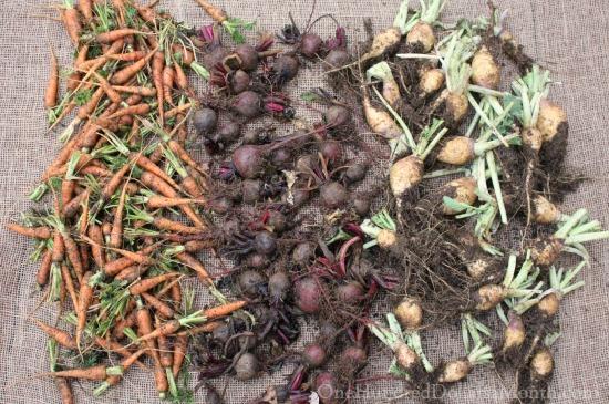 harvesting root vegetables carrots beets turnips