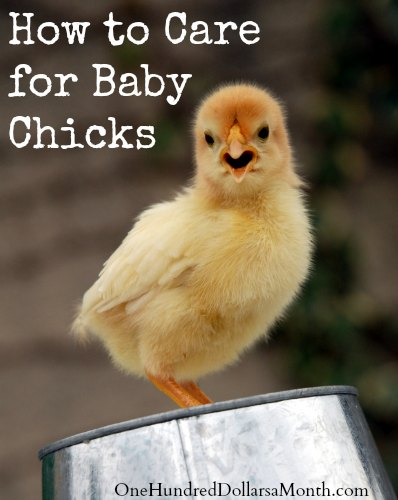 How-to-Care-for-Baby-Chicks