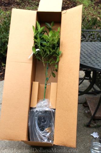 meyer lemon tree fast growing trees