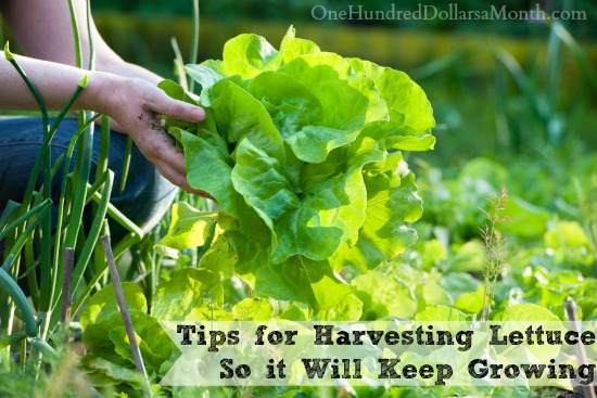 Tips for Harvesting Lettuce So it Will Keep Growing
