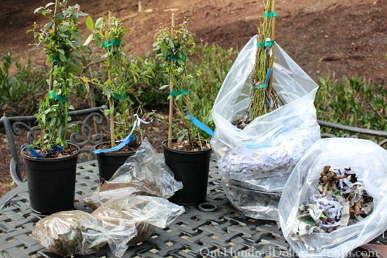 blueberry bushes raintree nursery