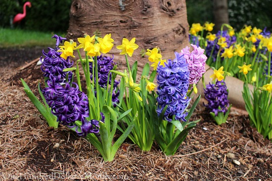 spring flower bulbs