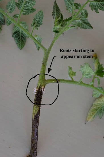 tomato laterals7