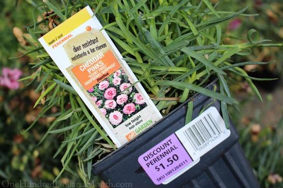 pink carnation plants