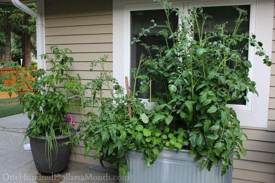 tomato container garden
