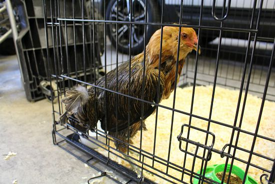 chicken in cage
