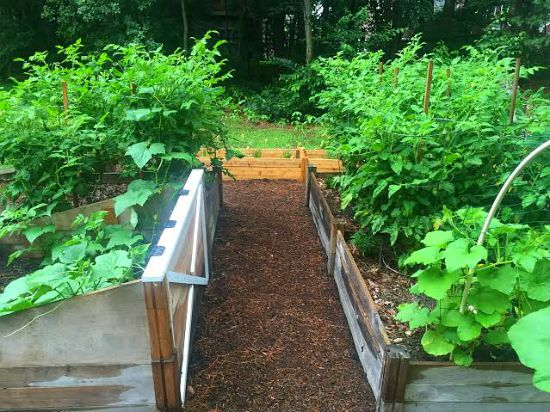 tomato plants growing in raised gardeb beds