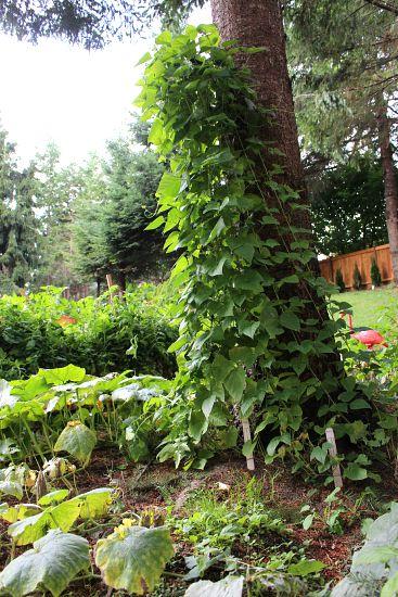 green bean teepee