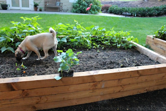 lucy puggle dog in raised garden beds