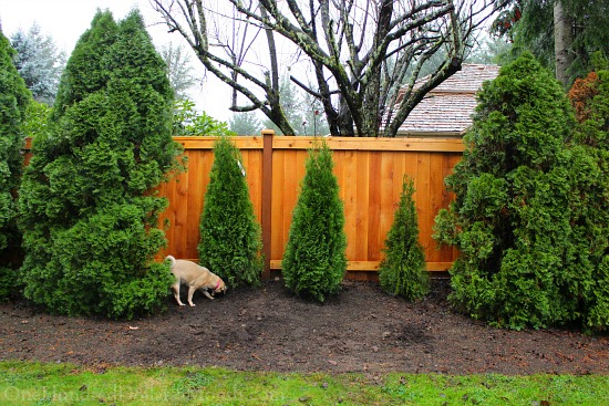 arborvitae hedge