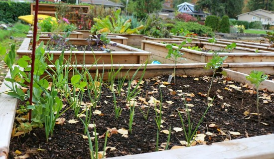 garlic planted in garden boxes