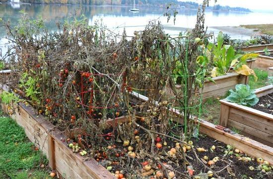 tomato plants in winter