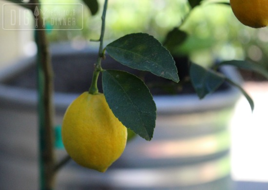 growing meyer lemons
