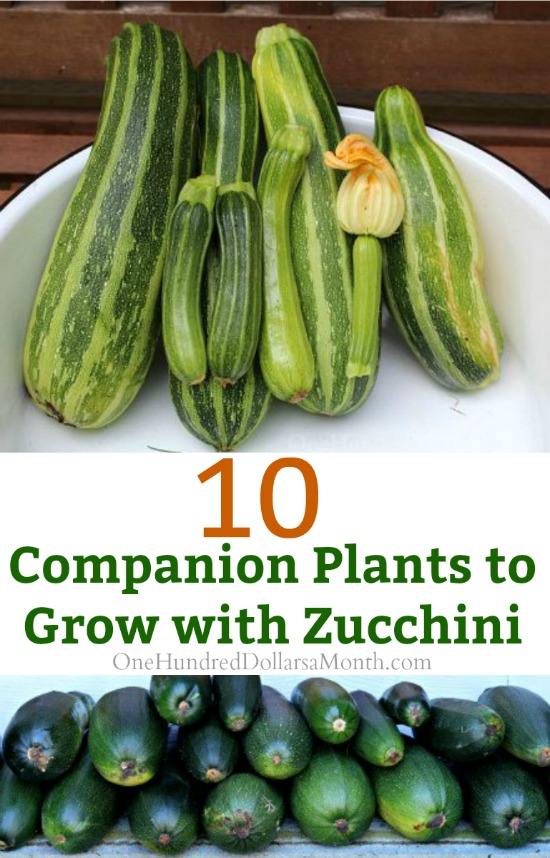 10 Companion Plants to Grow with Zucchini - One Hundred Dollars a Month