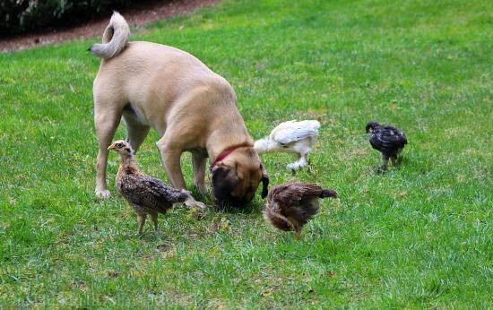 lucy puggle dog and chicks