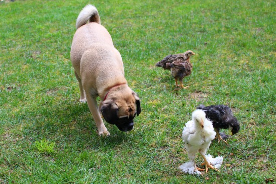 lucy the puggle dog chicks