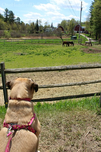 lucy the puggle dog vermont horse