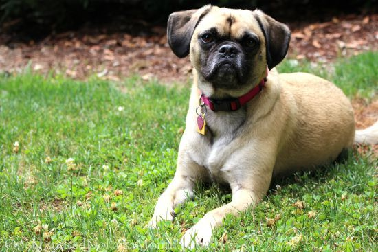 lucy-the-puggle-dog7