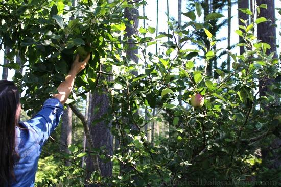 picking apple tree