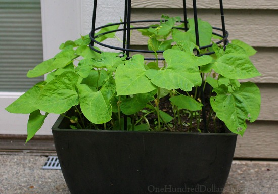 growing beans in containers