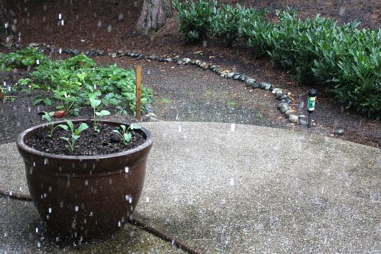 rain kale