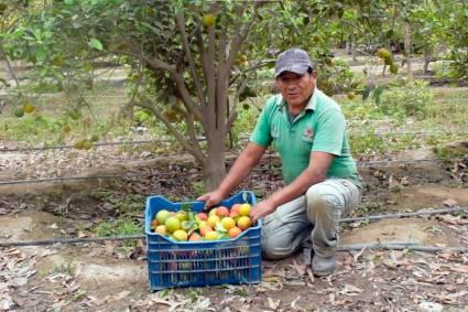 La Libertad: Acciones de control integrado de moscas de la fruta resguardan producción de pequeños agricultores