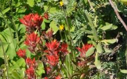 """Red (I think """"Indian Paintbrush"""")"""