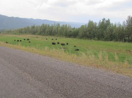 "Of course I've ""herd"" of bison."